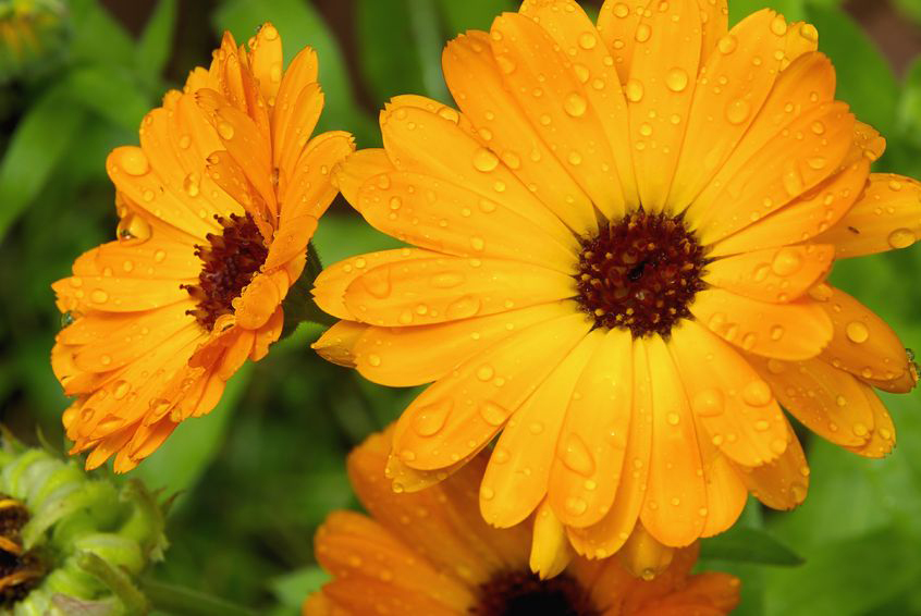 Arnica, hypericum  and Calendula: three plants to soothe muscle pain