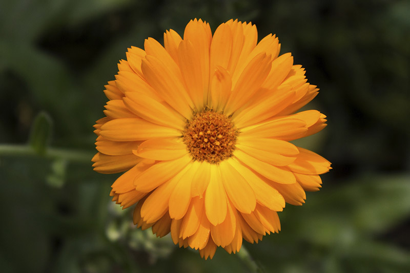 Pot marigold (Calendula officinalis) isolated on blur background